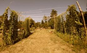 Hop Archway, Taylor Maid Farms, CA