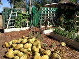 Coconut Harvest and Native Garden Area: Camp Mokuleia, Oahu