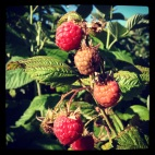 Raspberry Harvesting: Taylor Maid Farms, CA