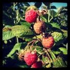 Raspberry Harvesting: Taylor Maid Farms, CA