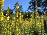 Field of Medicinal Mullein: Taylor Maid Farms, CA