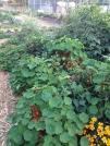 Peppers and Nasturtium Blackbird Farm: Mendocino, CA