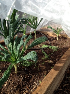 Kale and Chia Raised Bed: Camp Mokuleia, Oahu