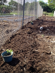 Planting Edible Perennials, Moringa and Papaya Along Fence: Oahu, Camp Mokuleia